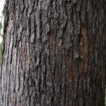 Ho Wood-Camphor-tree 2