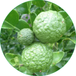 Kaffir Lime Icon_180920