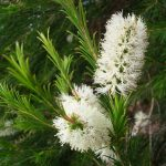 Tea Tree Melaleuca alternifolia