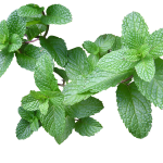herb-2540568_1920